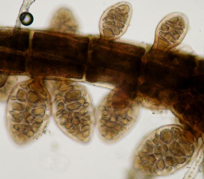 Aiolocolax pulchellus