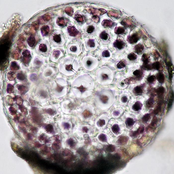 Bostrychia scorpioides