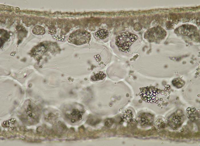 Calliblepharis ciliata