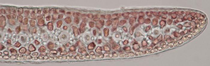 Gelidium pusillum var. pulvinatum