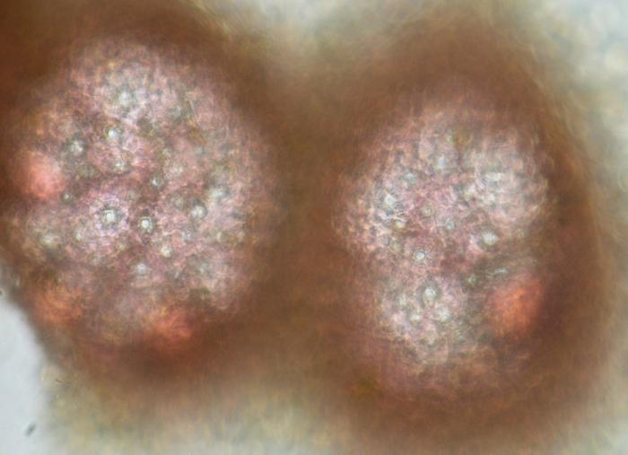 Melobesia membranacea
