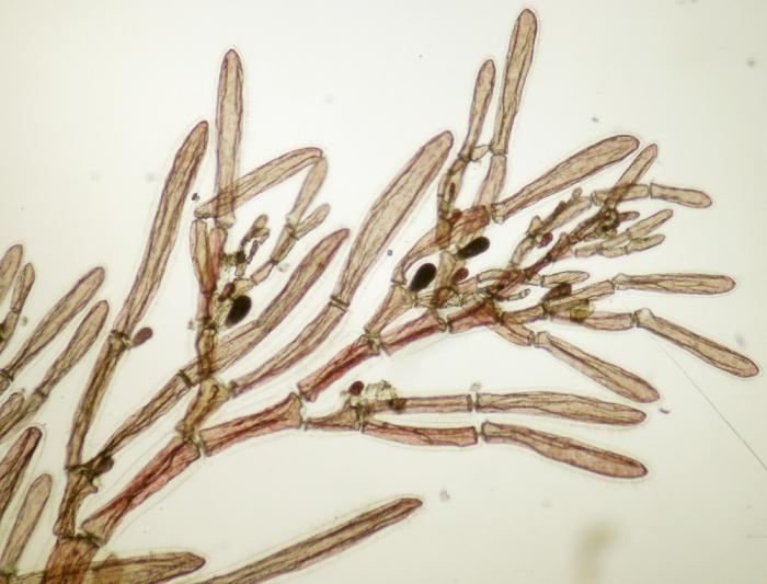 Monosporus pedicellatus