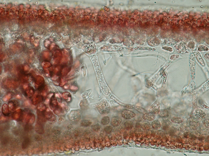 Neurocaulon foliosum