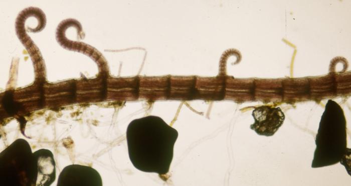 Ophidocladus simpliciusculus