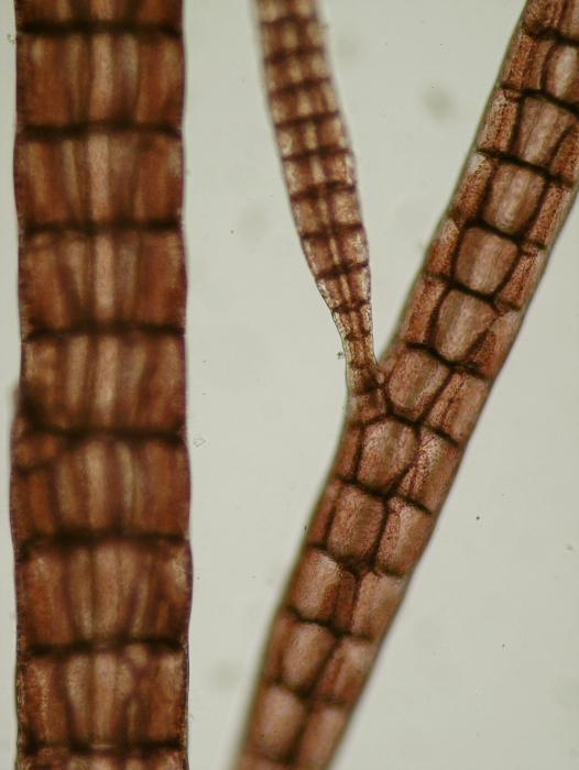 Polysiphonia elongata