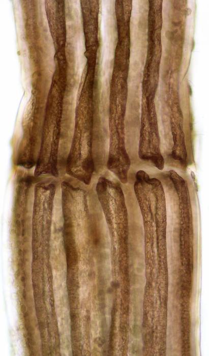 Polysiphonia fucoides