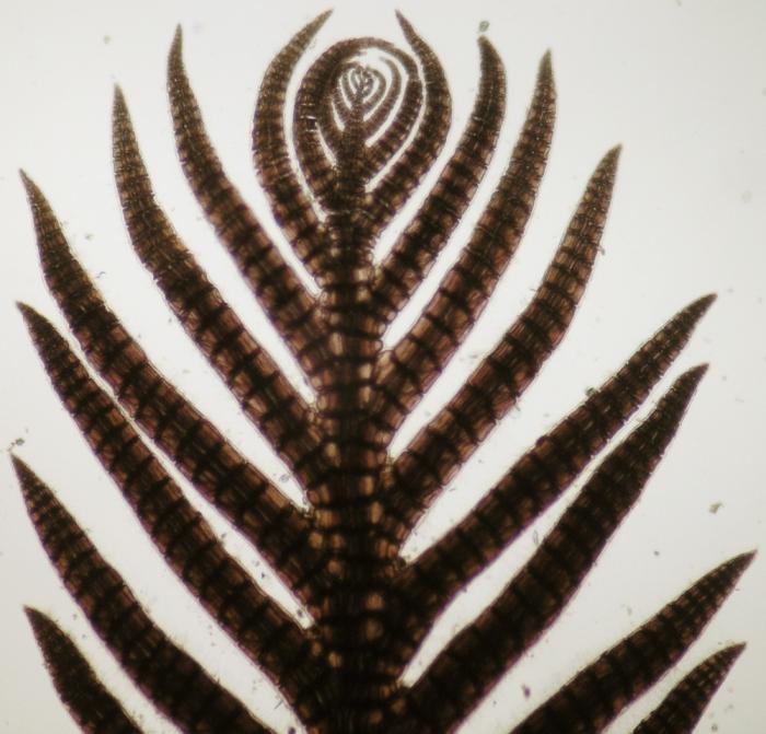 Pterosiphonia ardreana