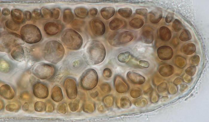 Pterocladiella melanoidea