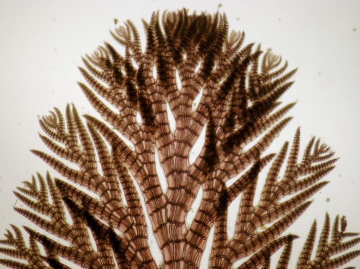 Pterosiphonia parasitica