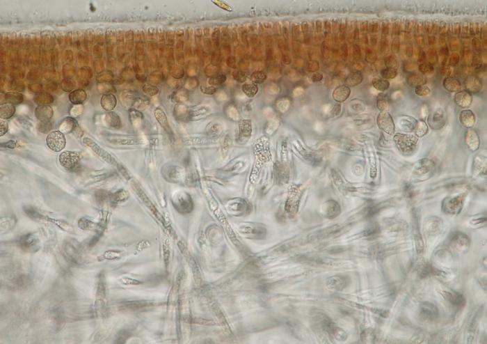 Schizymenia dubyi