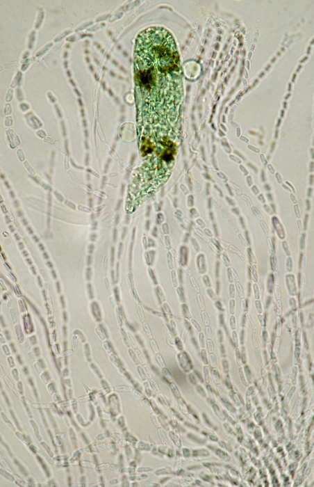 Codiolum petrocelidis