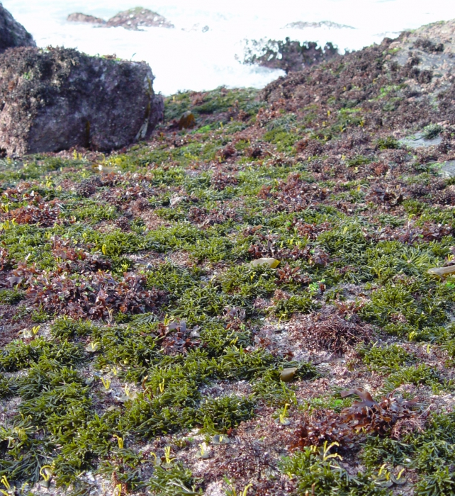 Codium tomentosum