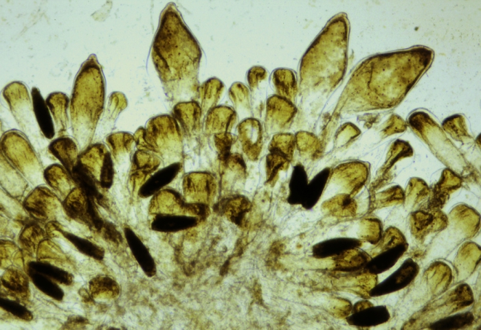 Codium tomentosum var. mucronatum