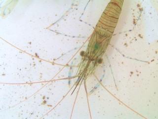 gezaagde steurgarnaal Palaemon serratus