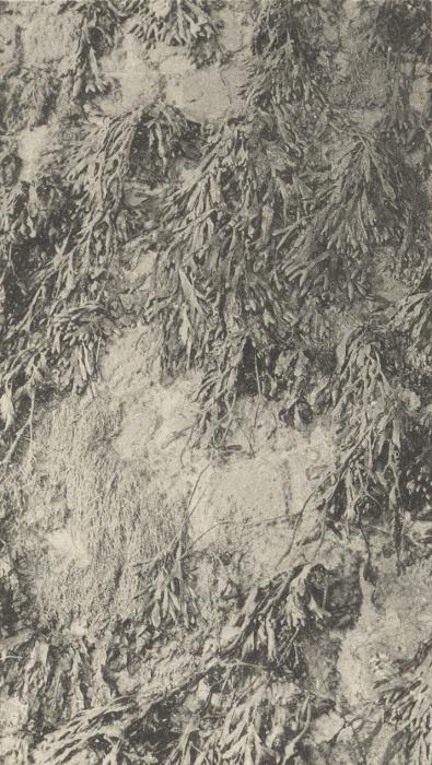 Massart (1908, foto 003)