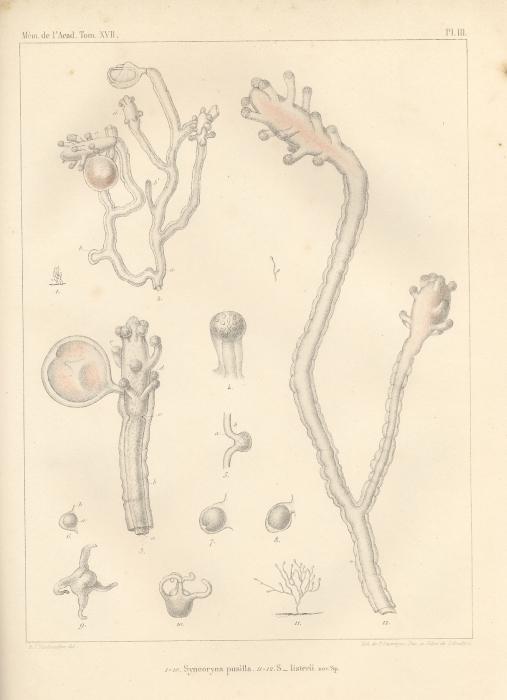 Van Beneden (1844, pl. 3)