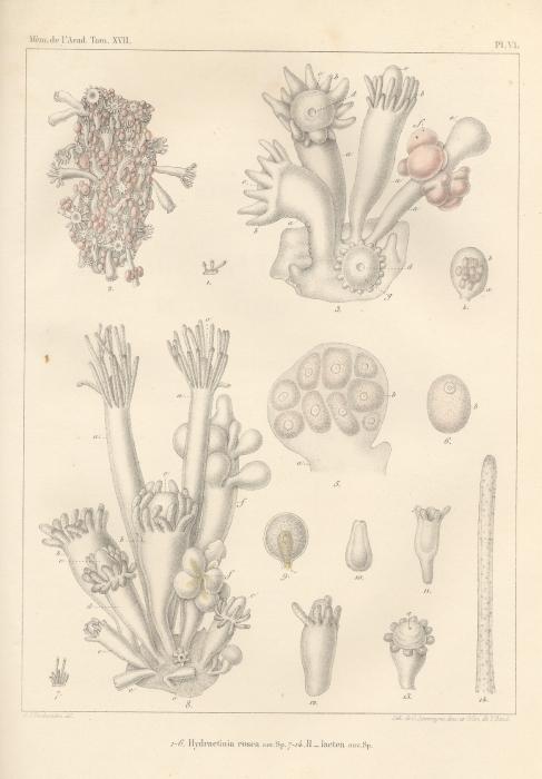 Van Beneden (1844, pl. 6)