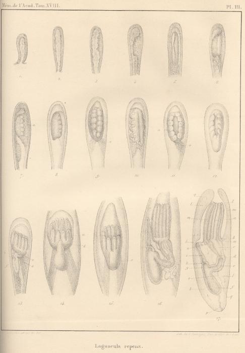 Van Beneden (1845, pl. 3)