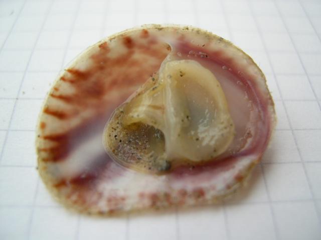 muiltje (Crepidula fornicata)
