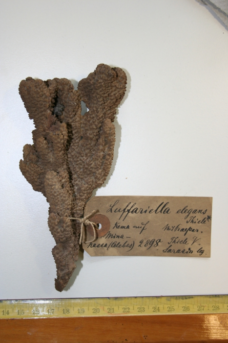 ZMB Type Luffariella elegans