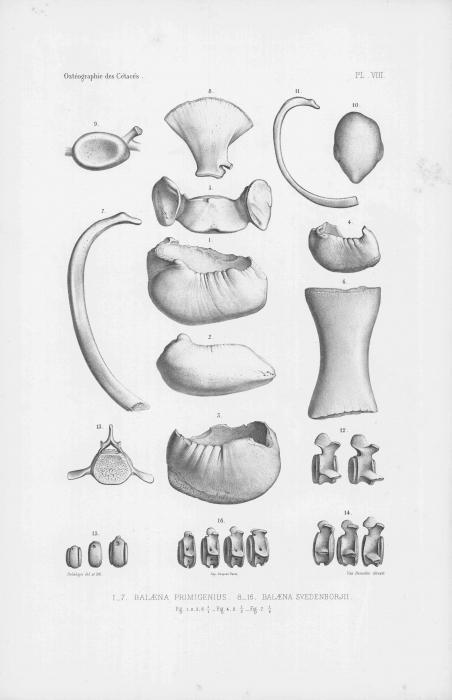 Van Beneden & Gervais (1880, pl. 08)