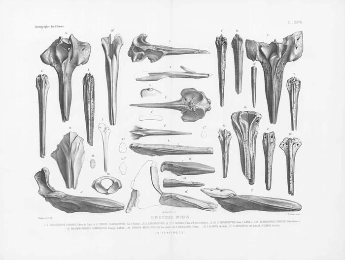 Van Beneden & Gervais (1880, pl. 27)