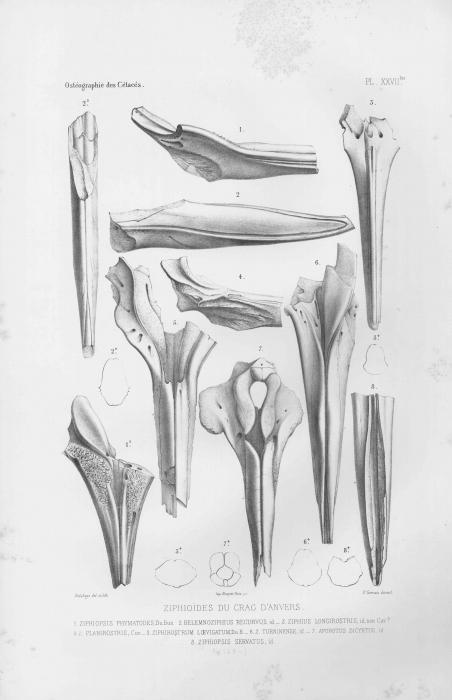 Van Beneden & Gervais (1880, pl. 27 bis)