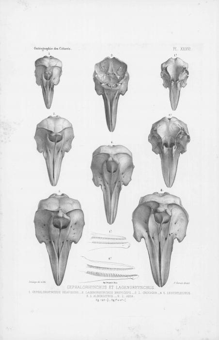 Van Beneden & Gervais (1880, pl. 36)
