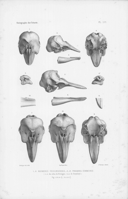 Van Beneden & Gervais (1880, pl. 56)