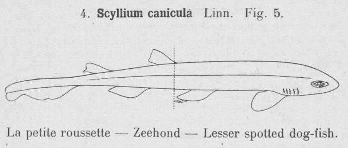 Gilson (1921, fig. 05)