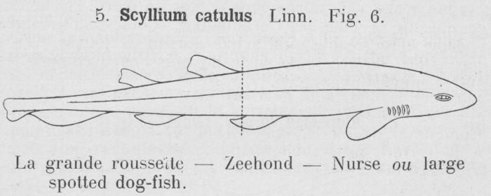 Gilson (1921, fig. 06)