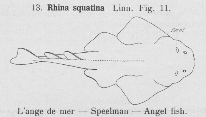 Gilson (1921, fig. 11)