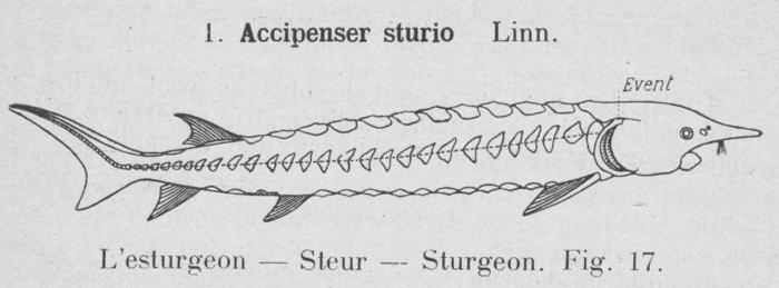 Gilson (1921, fig. 17)