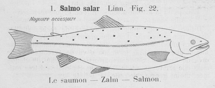 Gilson (1921, fig. 22)