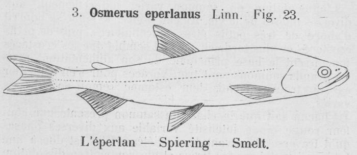 Gilson (1921, fig. 23)