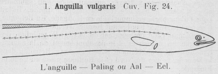 Gilson (1921, fig. 24)