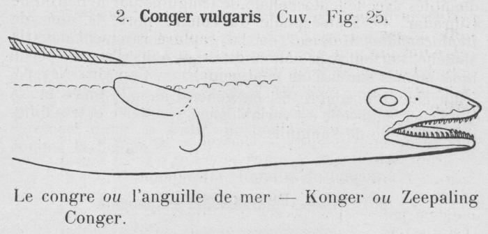 Gilson (1921, fig. 25)