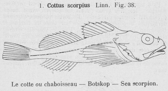 Gilson (1921, fig. 38)