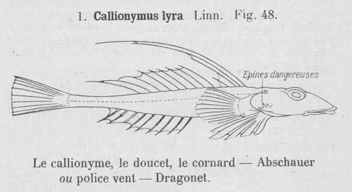 Gilson (1921, fig. 48)