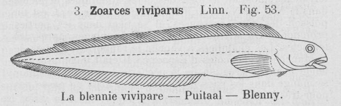 Gilson (1921, fig. 53)