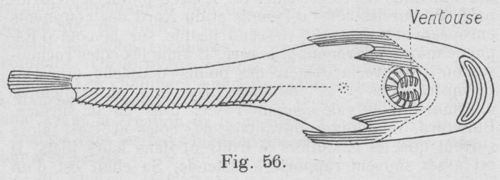 Gilson (1921, fig. 56)