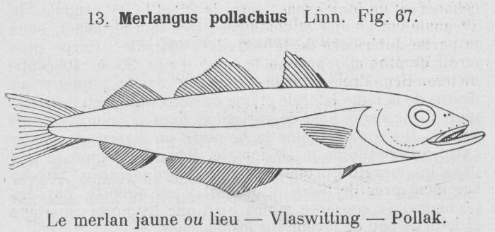 Gilson (1921, fig. 67)