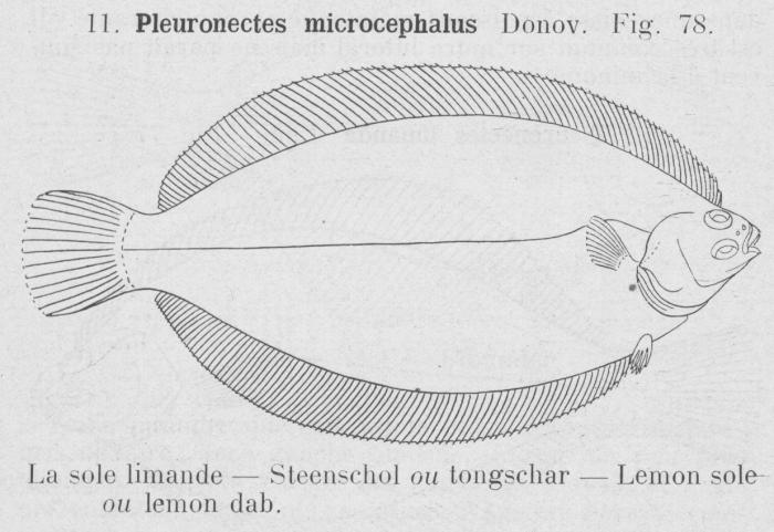 Gilson (1921, fig. 78)