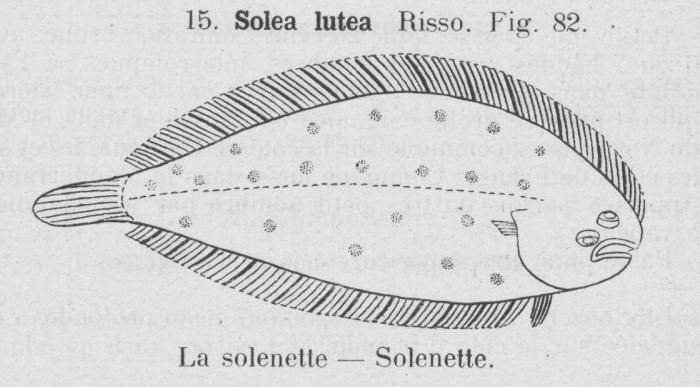 Gilson (1921, fig. 82)
