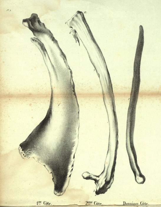 Dubar (1828, pl. 08)