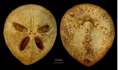 Amphipneustes rostratus