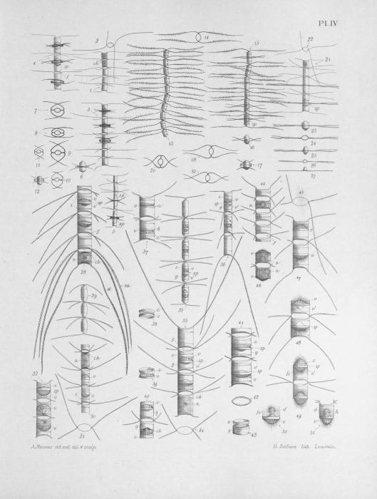 Meunier (1913, pl. 4)