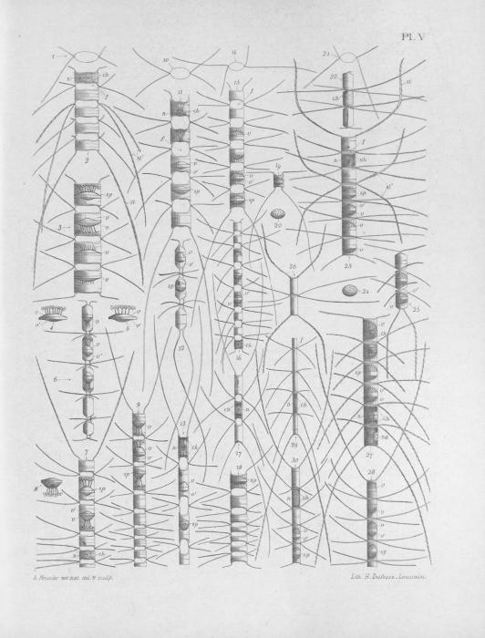 Meunier (1913, pl. 5)