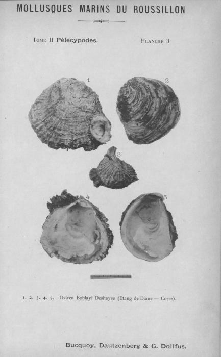 Bucquoy et al. (1887-1898, pl. 03)