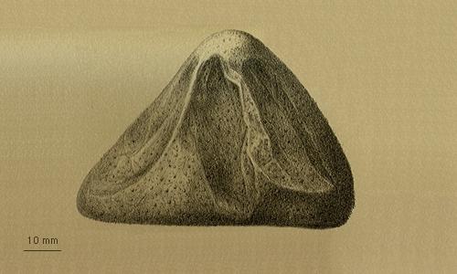 Pilematechinus vesica
